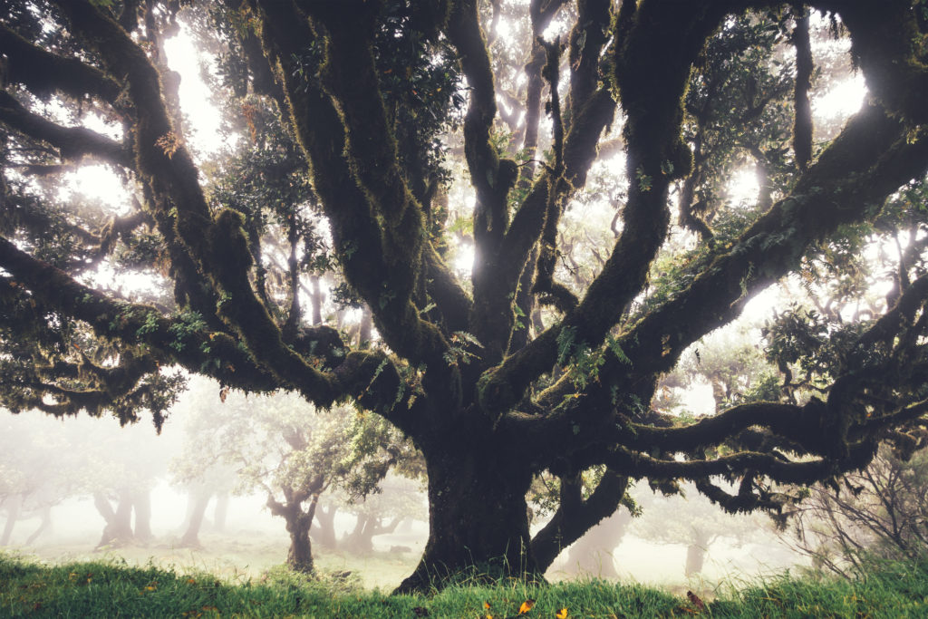 Mysterious 1000 years old laurel trees on Madeira Island on a foggy summer day.