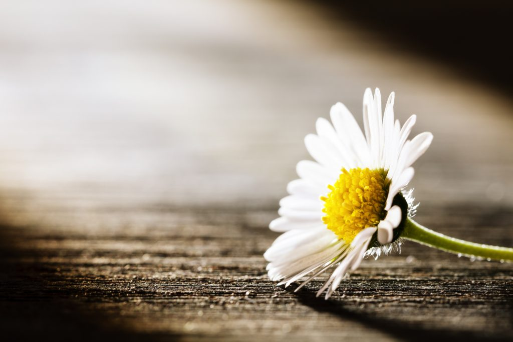 Tiny daisy flower lying on old wooden board.